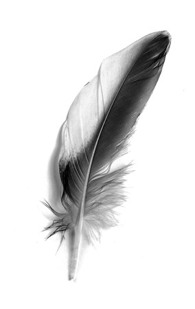 gravedad: Feather isolated on the white background