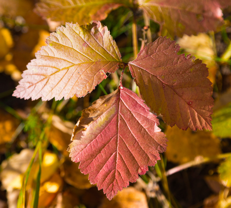 Autumn red leaves of wild strawberry
