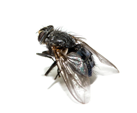 A macro shot of fly on a white background . Live house fly .