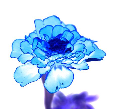 surrealistic: Surreal exotic blue marigold flower macro isolated on white