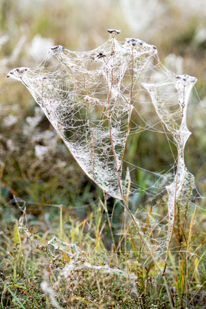 autumn, cobweb with drops of dew on plants