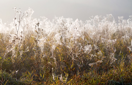 dew on a spider web out of focus, field, dry wild plants, autumn Stock Photo