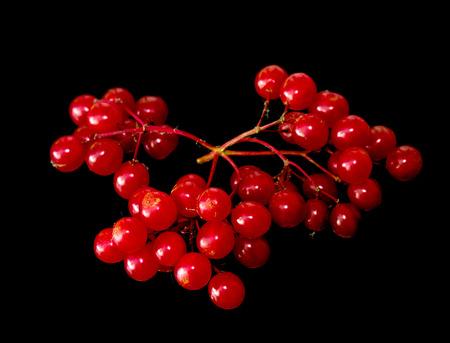 red viburnum berries isolated black