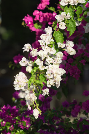 bougainvilleas: Pink and white blooming bougainvilleas, nature