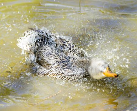 wild ducks in nature Stock Photo