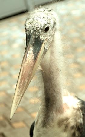 african stork: marabou stork Stock Photo
