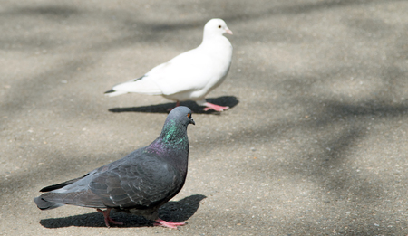wild pigeons in the nature of the city