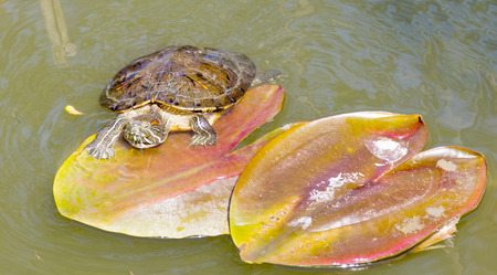 red-eared sliders in the lake water