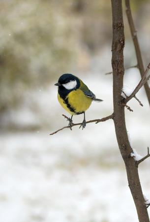 tit Vogel auf einem Ast sitzend, Winterlandschaft