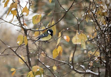 tit bird: tit bird sitting on a branch, winter landscape Stock Photo