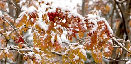 rowanberry: Autumn trees in the snow mountain ash forest