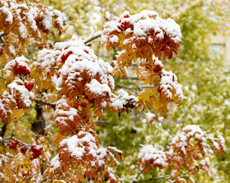 Autumn trees in the snow mountain ash forest