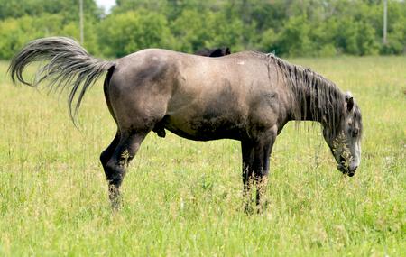 horse grazes on a green meadow 版權商用圖片
