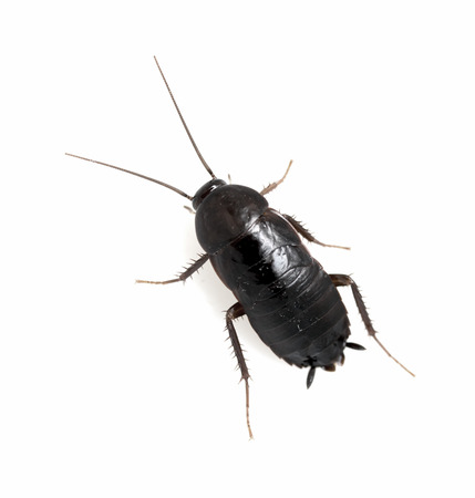 cockroach white background