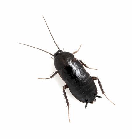 Kakkerlak witte achtergrond Stockfoto
