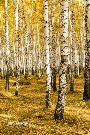 autumn, birch forest background