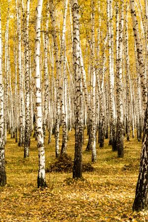 autumn, birch forest background
