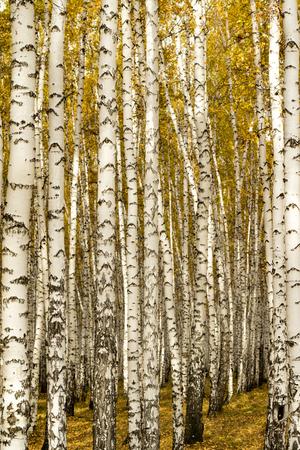 aspen leaf: autumn, birch forest background