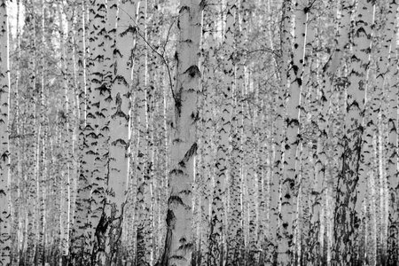 aspen leaf: birch forest background, black and white photo