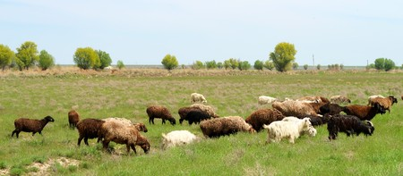 Sheep and goats in the green field