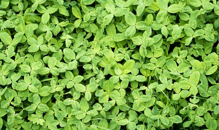 lucky clover: Clover green field background Stock Photo