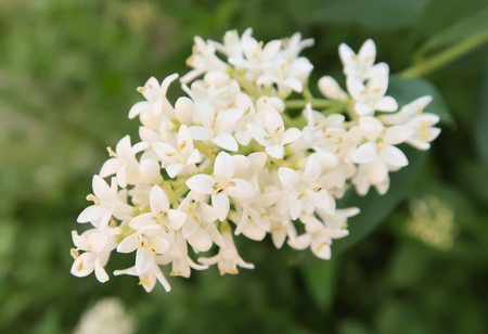 Kalina Buldenezh - white flowers Stock Photo