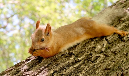 Red squirrel on the tree