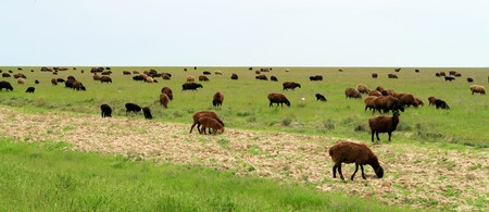 Flock of gray sheep on a green meadow