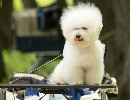 White poodle dog, nature