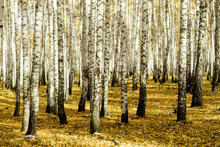 winter road: yellow birch forest, late autumn Stock Photo