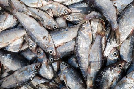 trammel: Coregonus peled - lakeside river fish, genus of whitefish