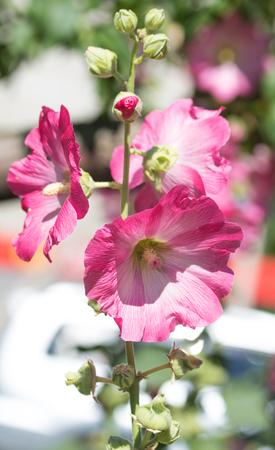 mallow: Mallow flower close-up