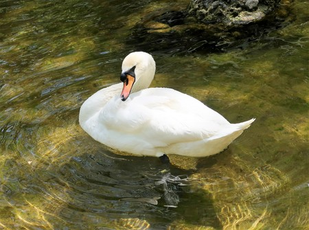 Bird white swan in a clean pond Stock Photo