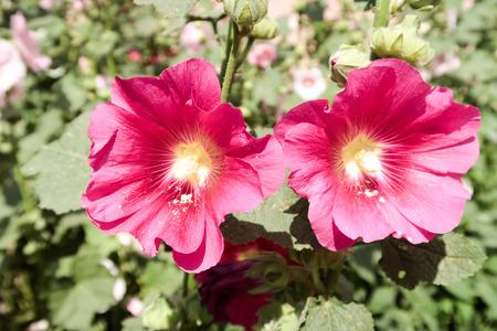 malvaceae: Flower Malvaceae