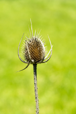 Teasel comb before it turns to seed Stock Photo