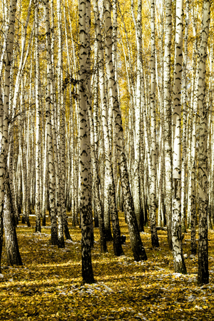 arboleda: yellow birch forest, late autumn Foto de archivo