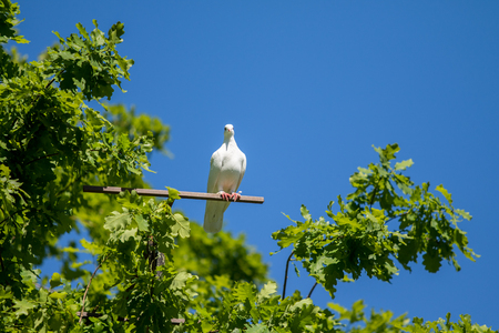 pigeon egg: White dove on a green tree Stock Photo