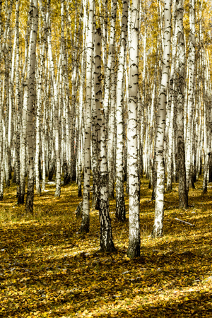 yellow birch forest, late autumn Stock Photo