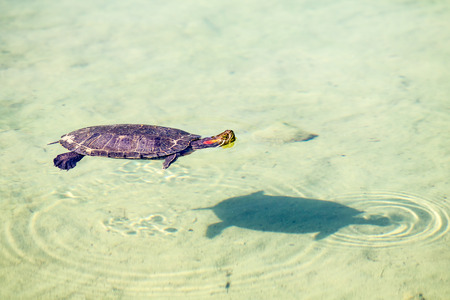 Turtle swims in a pond