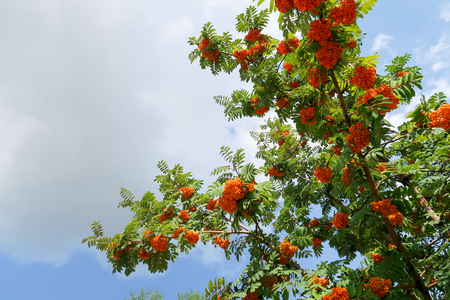 Berries rowan in summer against the sky Фото со стока