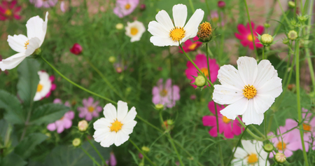 formosa: Cosmee - a beautiful flower