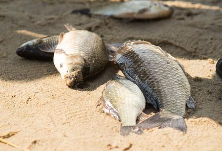 Fish carp on the beach