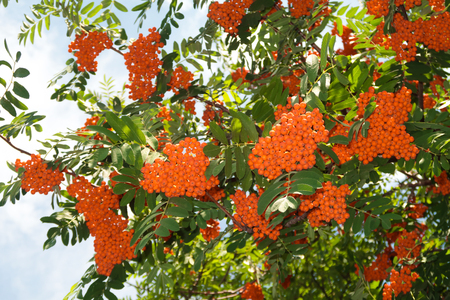 Fruits of mountain ash in summer, landscape