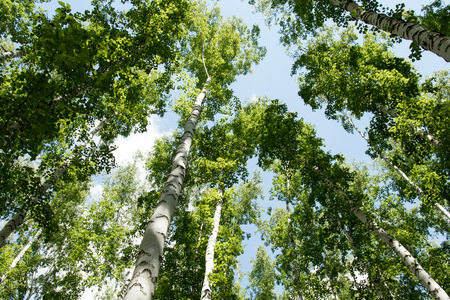 blue green background: Birch forest in summer view from below into the sky