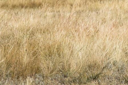 Yellow grass steppe