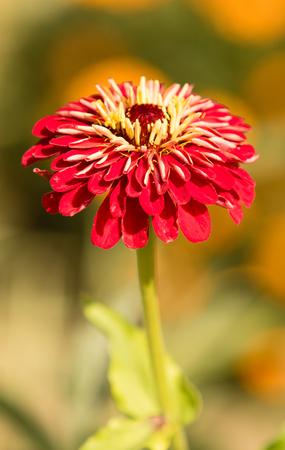 Chrysanthemum flower landscape Stock Photo