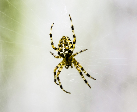 Spider with a cross on the back on a cobweb
