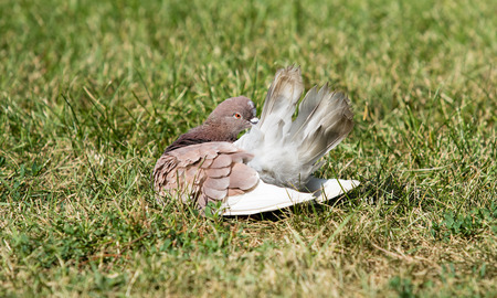 beak pigeon: Pigeons are sitting in the grass Stock Photo