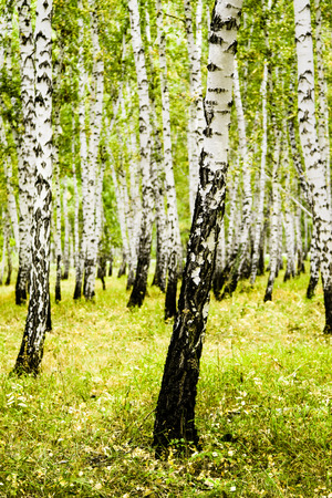 birch forest summer landscape Stock Photo