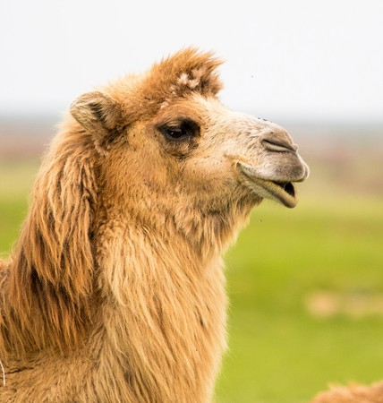 portrait of a camel spring Stock Photo